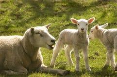 Deux agneaux de source image stock