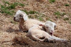 Deux agneaux mignons Images libres de droits
