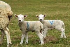 Deux agneaux mignons avec la mère Image stock