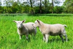 Deux agneaux néerlandais blancs dans le pâturage vert de ressort Photo stock