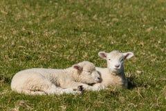 Deux agneaux se reposant sur l'herbe verte Photo libre de droits