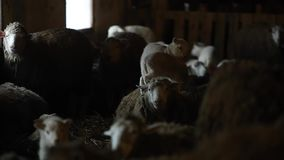 Deux agneaux se tenant sur un mouton Troupeau de moutons dans la grange Gropup des moutons bruns banque de vidéos