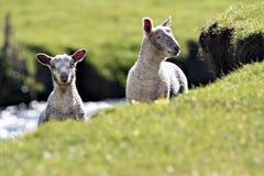Deux agneaux sur une berge Image libre de droits