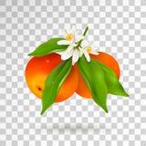 Deux agrumes mandarine ou mandarine accrochant sur la branche avec les feuilles vertes avec des baisses de l'eau, fleurs de flora illustration de vecteur