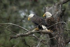 Deux aigles étés perché Images libres de droits