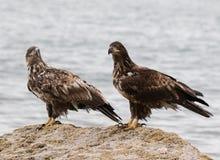 Deux aigles chauves juvéniles sur une roche Photos stock