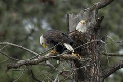 Deux aigles dans un arbre Photographie stock libre de droits