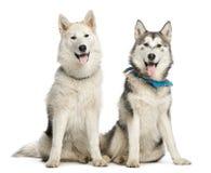 Deux Alaskan Malamut, séance et halètement photos stock