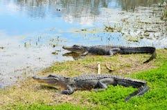 Deux alligators étendus près d'un lac Photos stock