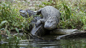 Deux alligators américains sur la banque Photos stock