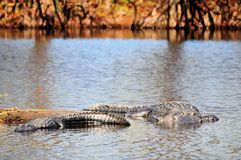 Deux alligators dans la zone humide Images libres de droits