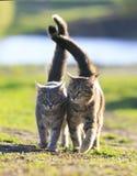 Deux amants ont barré le chat marchant sur l'herbe verte à côté d'un s ensoleillé Photo libre de droits