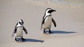Deux amis africains de pingouins Images stock