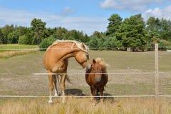 Deux amis Cheval et poney dans le pâturage Image stock