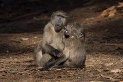 Deux amis de babouin Photographie stock libre de droits