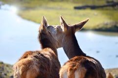 Deux amis de cerfs communs Image stock