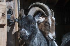 Deux amis de chèvre Photos libres de droits