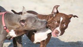 Deux amis de chien terrier de pitbull Photographie stock