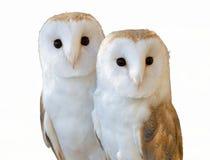 Deux amis de hiboux Photo stock