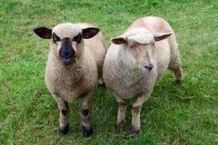 Deux amis de moutons posant pour la photo sur l'herbe Photographie stock