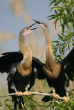Deux anhingas image stock