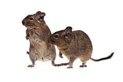 Deux animaux familiers de degu Images libres de droits