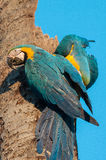 Deux aras bleus attachés dans le tronc d'arbre de noix de coco Photos stock