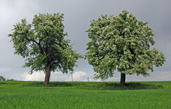 Deux arbres au printemps Image stock