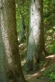 Deux arbres centennaux, dans une forêt de montagne Photographie stock libre de droits