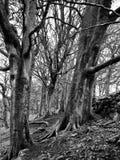 Deux arbres de hêtre en hiver aux bois de nid de corneille photographie stock