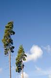 Deux arbres de pin et ciel bleu Photographie stock libre de droits