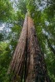 Deux arbres de séquoia s'élevant près de l'un l'autre, grand parc d'état de bassin, la Californie Photo libre de droits