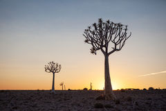 Deux arbres de tremblement silhouettés contre le coucher du soleil Image stock
