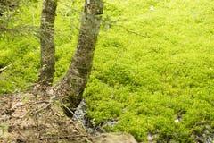 Deux arbres s'approchent des marais de mousse Images libres de droits