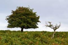 Deux arbres sur Dartmoor Photo libre de droits