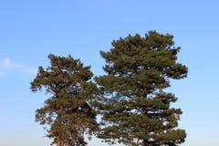 Deux arbres sur le ciel photographie stock