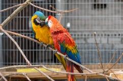 Deux arums de perroquets photographie stock libre de droits
