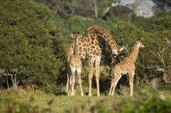 Deux bébés de girafe avec un adulte Photographie stock