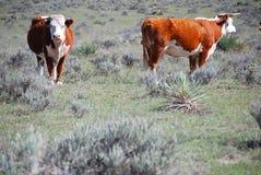 Deux bétail de Hereford dans un pâturage sec (vaches) Photographie stock libre de droits