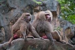 Deux babouins de hamadryas se reposant ensemble Image libre de droits