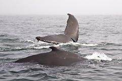 Deux baleines de bosse Images libres de droits