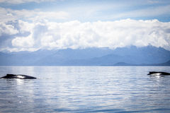 Deux baleines de bosse en Alaska Image libre de droits