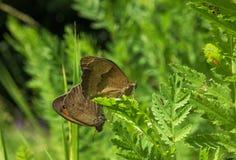Deux batterflies bruns à l'amour vert de feuille Photo libre de droits