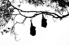 Deux battes de fruit pendant d'un arbre en silhouette Photos libres de droits