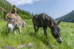 Deux beaux ânes frôlant dans la fin de pré de montagne vers le haut du portrait Photo libre de droits
