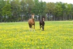 Deux beaux chevaux. Image stock