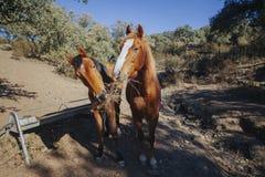 Deux beaux chevaux bruns mangeant l'herbe ensemble Photo stock