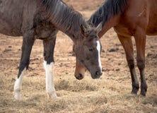 Deux beaux chevaux frôlent dans le domaine, mangent le foin, se tiennent près de l'un l'autre photographie stock libre de droits