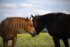 Deux beaux chevaux regardant l'un l'autre Photo libre de droits