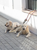 Deux beaux chiens blancs futés Images libres de droits